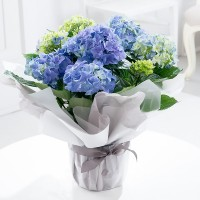 Gift Wrapped Blue Hydrangea Plant