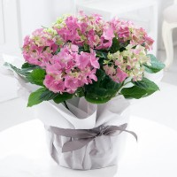 Gift Wrapped Pink Hydrangea Plant