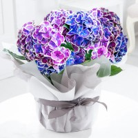 Large Gift Wrapped Blue & Purple Hydrangea Plant