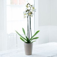 Double Stem White Phalaenopsis Orchid