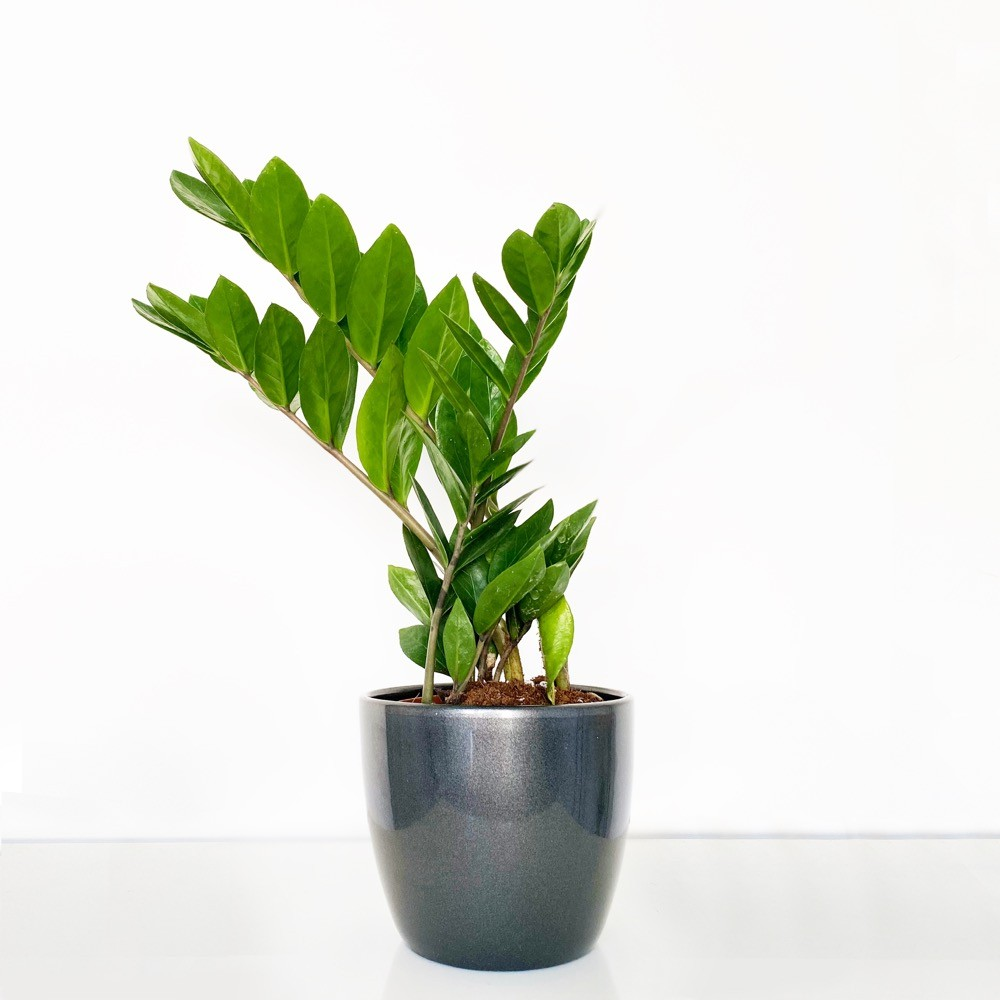 Zamioculcas House Plant