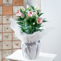 Gift Wrapped Lily Plant