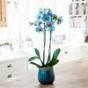 Pink & Blue Wonder Orchid